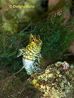 TP16- 517z  Diamond Blenny Fish, Malacoctenus boehlkei