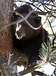 This 350-pound, adult male black bear was released by Nevada Department of Wildlife officials Wednesday in the mountains west of Carson City. The bear, who was captured Tuesday morning in the backyard of a Carson City home, is one of about 10 processed by NDOW in the past week. <br /> (Cathleen Allison/Las Vegas Review-Journal)