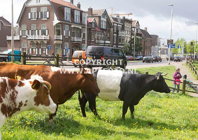 """07-05-2015 - Arnhem - Foto Ruben Meijerink<br /> De 'stadkoeien' worden weer in park Sonsbeek los gelaten. Voor de meeste Arnhemmers betekent dat al een zomersgevoel. """"Ik ken geen andere koe die zo dicht tegen het station aangraasd, ze kunnen bijwijze van spreken zo een kaartje kopen voor de trein. Een koe in de stad is niet zonder risico's verteld Martin Fasen (van natuurcentrum Arnhem) honden dragen in hun ontlasting de neospora bacterie met zich mee, dat kan zorgen voor een vroegtijdig afbreken van een zwangerschap. Het is dus belangrijk om bewust te maken dat de honden aangeleind dienen te zijn en niet tegen het perceel hun hond laten poepen. Het perceel blijft een agrarische bestemming en dat midden in de stad!"""
