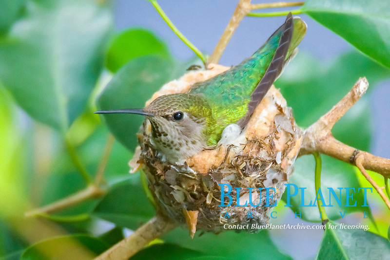 Anna's hummingbird, Calypte anna, adult, brooding in nest, Irvine, California, USA
