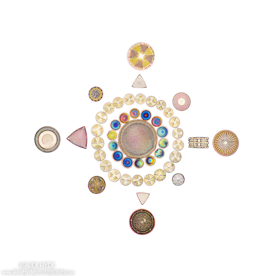 Diatoms arranged on a Victorian-era antique microscope slide, produced by J & T Jones. The diameter of this minature work of art is under two millimetres. Diatoms are single-celled algae whose cell walls are constructed from silica and are known as a frustule.  Diatoms are the most dominant and widespread group of eukaryotes on Earth and come under the term phytoplankton (microscopic photosynthetic plankton) and as such provide the organic biomass that most of ocean life depends on. Diatoms are major oxygen generators as well as being central to the global carbon cycle, responsible for 20% of global carbon fixation through photosynthesis. Additionally they play major roles in the cycling of other nutrients such as silicon and nitrogen. Diatoms are thought to be major contributors to crude oil deposits, following their deposition and burial on the ocean floor. Specific diatom biomarkers are currently used to locate potential sites for crude oil drilling.