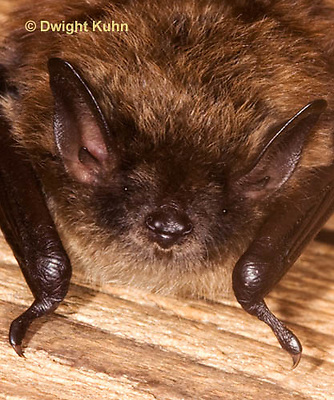 MA20-583p  Little Brown Bats, Myotis lucifugus, Tightly cropped image