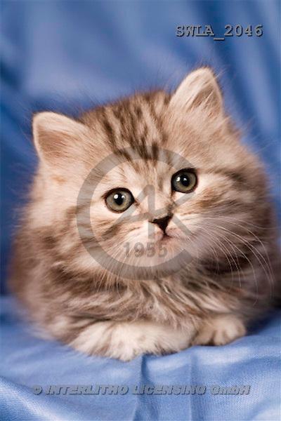 Carl, ANIMALS, photos, grey kitten, blue fond(SWLA2046,#A#) Katzen, gatos