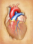This medical illustration shows an editorial image of the heart on a parchment textured background. Structures visible in this image include the ventricles, left and right atrium, auricles, aorta, pulmonary artery and veins, coronary arteries, superior and inferior vena cavae.