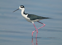 Black-necked Stilt (Himantopus mexicanus) wading in shallow water