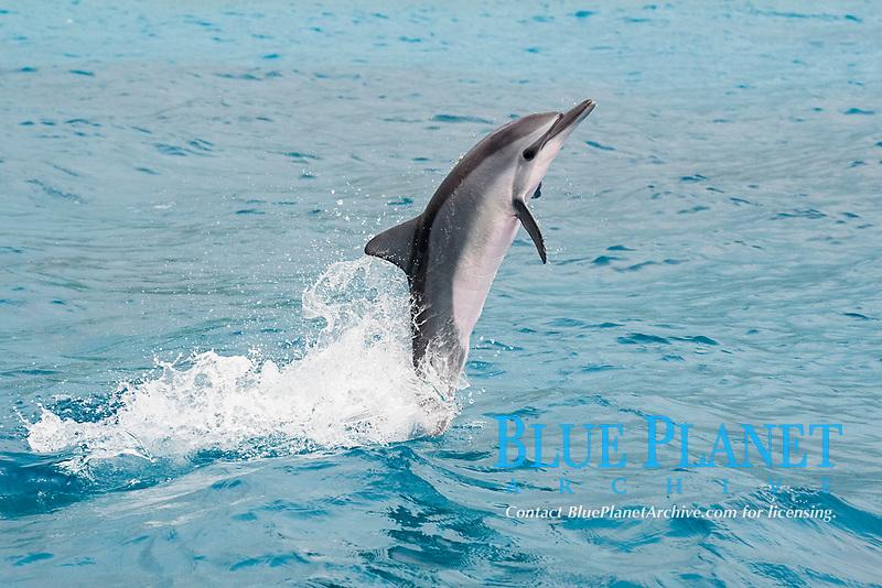 juvenile Hawaiian spinner dolphin or Gray's spinner dolphin or long-snouted spinner dolphin, Stenella longirostris longirostris, leaping from water, Kailua-Kona, Big Island, Hawaii (Central Pacific Ocean)