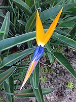 Bird of Paradise (Strelitzia reginae), Maui, Hawaii, US