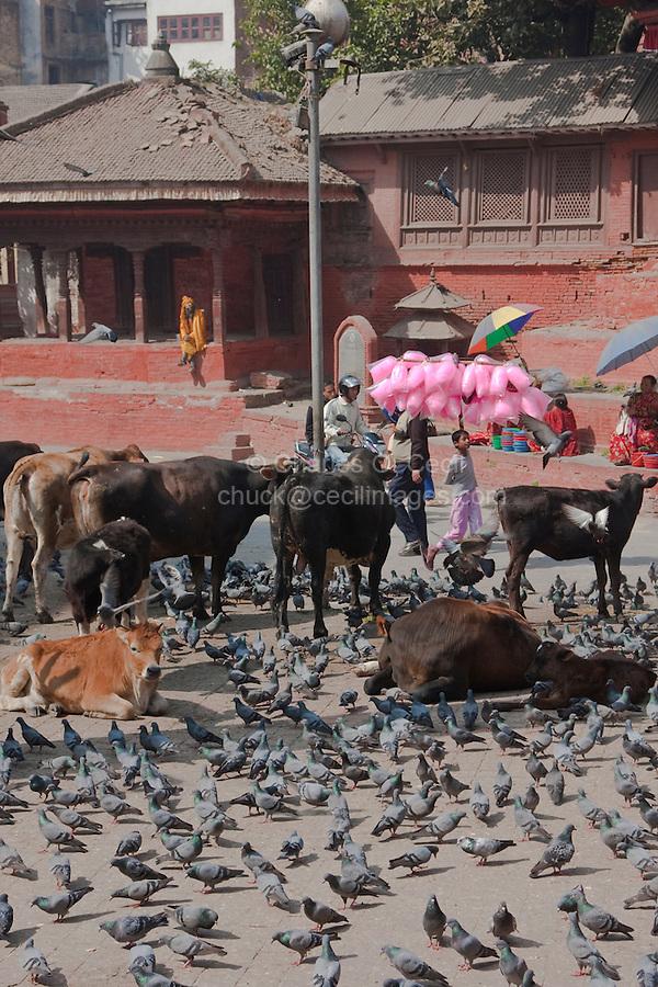 Kathmandu, Nepal.  Durbar Square, where Cows and Pigeons Roam Freely.