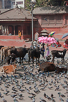 Kathmandu, Nepal.  Durbar Square, where Cows and Pigeons Roam Freely.