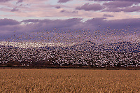 Snow Geese flying on a pink sky sunset
