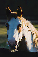 American Paint Horse portrait, adult, North Carolina, USA