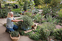 Herbalist Tammi Hartung harvesting rosemary in container, in her garden at Desert Canyon Farm, Colorado
