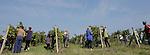 Foto: VidiPhoto..ZEMBEROVCE - In Slowakije bevindt de druivenoogst zich op dit moment op zijn hoogtepunt, zoals hier in Zemberovce. Dankzij de communistische staatswijngaarden heeft Slowakije in het verleden nooit een fatsoenlijke wijn kunnen produceren. Op dit moment ontwikkelen particuliere wijnboeren echter topwijnen die de kwalitatieve concurrentie met Frankrijk goed aankunnen. Het is de bedoeling om op korte termijn ook export naar Nederland op gang te brengen. Op dit moment zijn Slowaakse wijnen in ons land vrijwel niet verkrijgbaar.