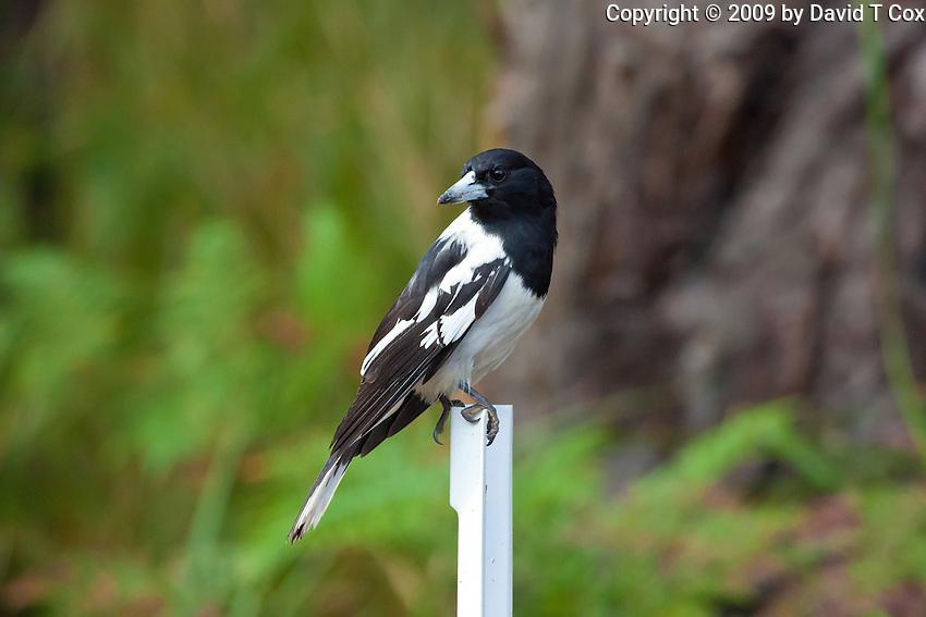Pied Butcherbird, Yuragir NP, NSW, Australia