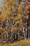 Trees in fall