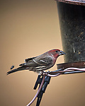 House Finch. Image taken with a Nikon D5 camera and 600 mm f/4 VR lens (ISO 640, 600 mm, f/4, 1/1250 sec)