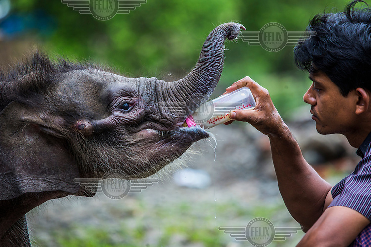 Dr. Myo Min Aung feeds powder-milk to Mi Chaw who has been suffering from severe diarrhoea for days, at Thayatsan elephant camp. <br /><br />Attempts by vet Dr. Myo Min Aung to persuade the sick and weakened calf vital to feed from other lactating female elephants in the camp failed as the 22-day-old calf has only had contact with  humans since birth and will only stay  stay close by her human-guardian vet.