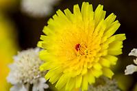 Malacothrix californica, California dandelion, flowering in Sonoran Desert at Anza Borrego California State Park