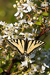 Eastern Tiger Swallowtail