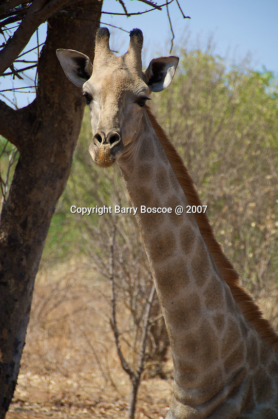 Head shot of a giraffe in Victoria Falls, Zambia Africa