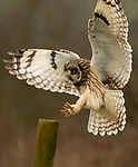 """Pictured:  The owl landing on the post.<br /> <br /> An owl seems to channel the spirit of Marilyn Monroe as it fluffs up its feathers and looks like its wearing a dress.  The short-eared owl was snapped by a keen amateur photographer as it ruffled its feathers.<br /> <br /> Jack Branscombe, 27, said he had been 'desperate' to photograph this species of owl for months and finally got his wish on a gloomy day at an unnamed spot in Essex.  He said: """"I was over the moon to see my first short-eared owl and to get to photograph such a relaxed one was amazing.  SEE OUR COPY FOR DETAILS.<br /> <br /> Please byline: Jack Branscombe/Solent News<br /> <br /> © Jack Branscombe/Solent News & Photo Agency<br /> UK +44 (0) 2380 458800"""