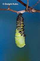 MO06-544z  Monarch forming a Chrysalis - Danaus plexipuss...