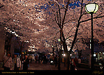 Sakura Viewing at Night Gion District Kyoto Japan