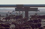 Alaska, Prudhoe Bay, Caribou moving past gathering field pipeline; Oil fields, Trans Alaska Pipeline, 1978;