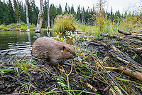 Young North American Beaver (Castor canadensis) working on dam it has built on a small stream.  Northern Rockies,  Fall.