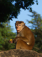 A cheeky monkey at Polonnaruwa-Mediaeval Capital City, Sri Lanka