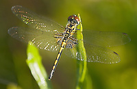 Ornate Pennant (Celithemis ornata) Dragonfly - Teneral female, Babcock-Webb WMA, Charlotte County, Florida