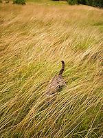 Cat looking under grasses<br />