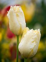 Tulpen, Bodensee - Insel Mainau, Baden-Württemberg, Deutschland, Europa<br /> tulips, Isle of Mainau, Lake Constance, Baden-Württemberg, Germany, Europe