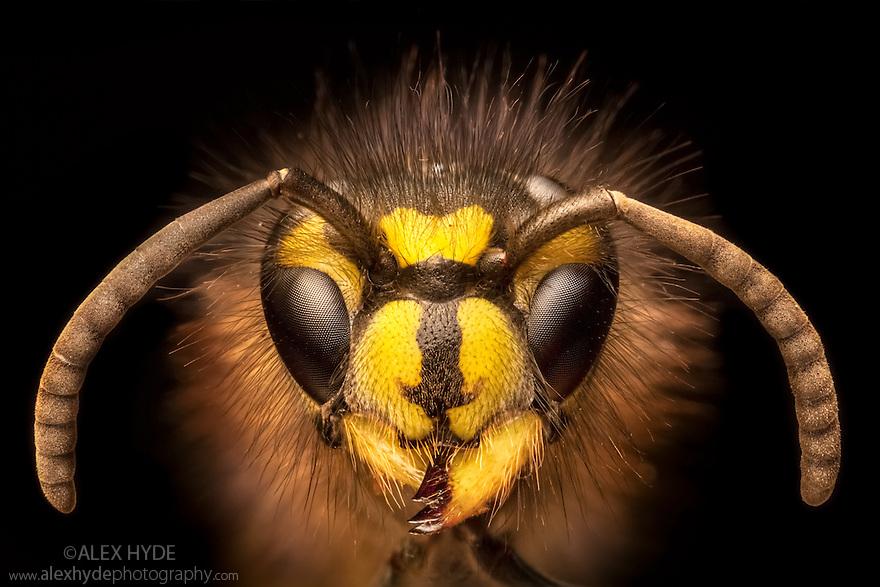 Portrait of a Common Wasp {Vespula vulgaris}. UK. Focus stacked image.