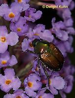 1C13-501z  Japanese Beetles eating flowers, Popilla japonica