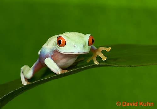 0306-0904  Red-eyed Tree Froglet (Young Frog), Agalychnis callidryas  © David Kuhn/Dwight Kuhn Photography.