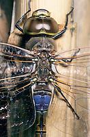 Schabrackenlibelle, Männchen, Schabracken-Libelle, Schabracken-Königslibelle, Anax ephippiger, Hemianax ephippiger, vagrant emperor, male