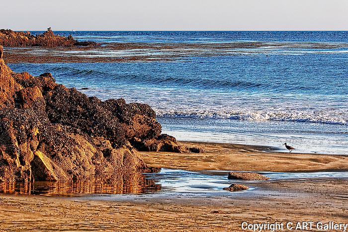Greater Yellowlegs, Crystal Cove, CA.
