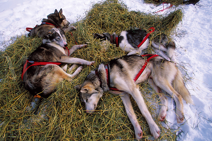 Iditarod sled dogs rest on a bed of hay. Alaska.