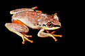 Madagascar reed frog {Heterixalus madagascariensis}. Masoala Peninsula National Park, north east Madagascar.