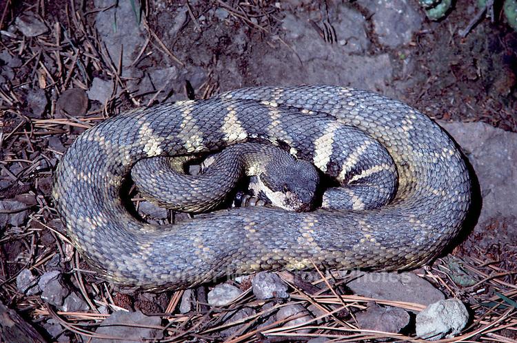 Rattlesnake (Crotalinae) in Coiled Position, South Okanagan Valley, BC, British Columbia, Canada