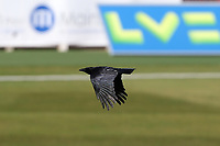 A crow flies across the ground during Warwickshire CCC vs Essex CCC, LV Insurance County Championship Group 1 Cricket at Edgbaston Stadium on 25th April 2021