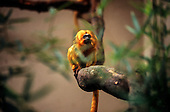 Poco das Antas Reserve, Brazil. Golden Lion Tamarin monkey, 'Mico Leao'; Leontopithecus rosalia; on the Cites red list as an endangered species.