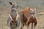Red kangaroos, Australia