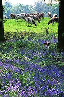 Bluebells and Ayrshire cows,Cheshire.