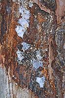 Glattbeinspinne, Glattbein-Spinne, Gespinst, Gespinstsack, Cetonana laticeps, Ceto laticeps, Glattbeinspinnen, Trachelidae