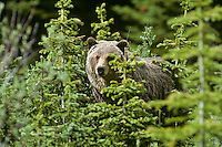 Grizzly Bear (Ursus arctos). May-June, Northern Rockies.