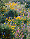 Organ Pipe Cactus National Monument, AZ<br /> Late sun backlighting Owl's clover, fiddleneck, Mexican poppies, Coulter's Lupine in a wash on Puerto Blanco Drive