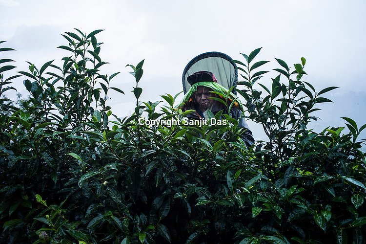 Workers pick tea leaves at the Pedro Tea Estate in Nuwareliya in Central Sri Lanka.  Photo: Sanjit Das/Panos