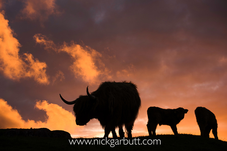 Silhouette of highland cows (Bos taurus).  Glengorm Estate, north west coast, Isle of Mull, Scotland. June
